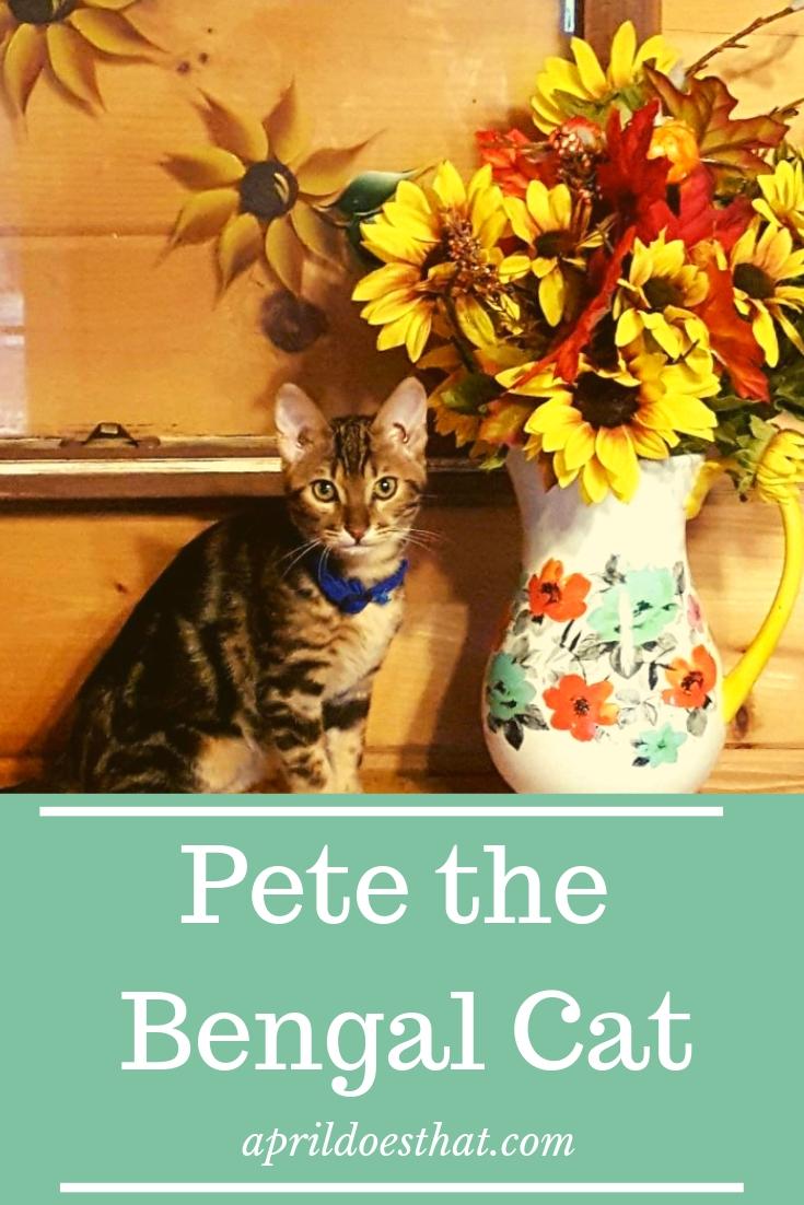 Meet Pete the Huggins Cat